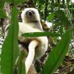 sifaka lemur white